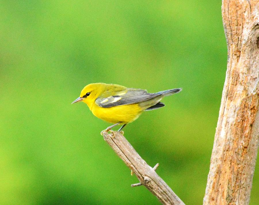 Warbler Photograph - Blue-winged Warbler by Judy Genovese