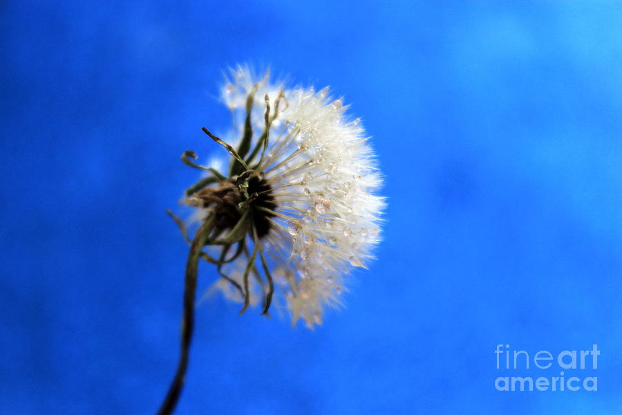 Dandelion Photograph - Blue Wish by Krissy Katsimbras