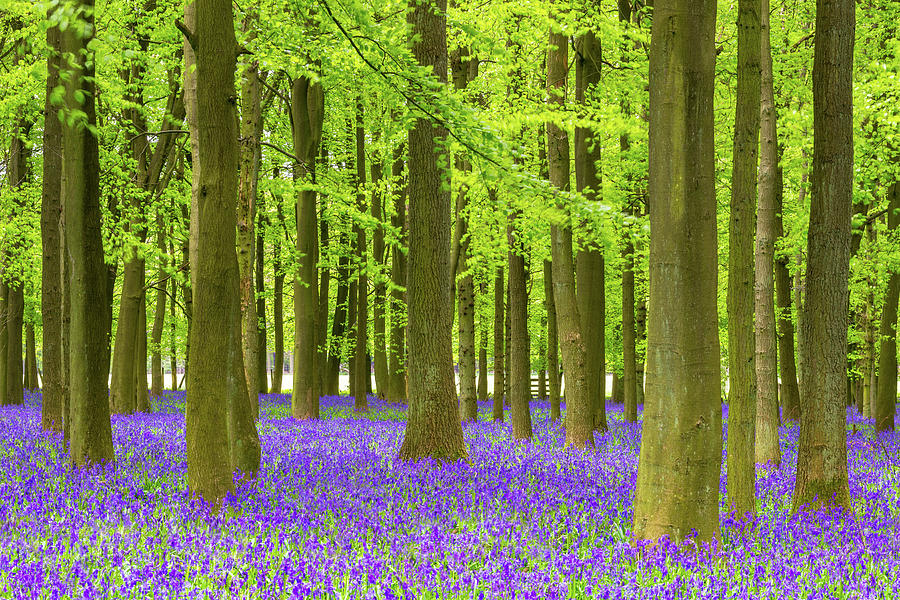 Bluebell And Beech Tree Forest Photograph by Chrishepburn