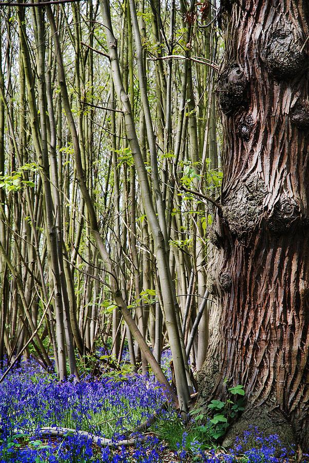Bluebells Photograph - Bluebell Woodland by Mark Rogan