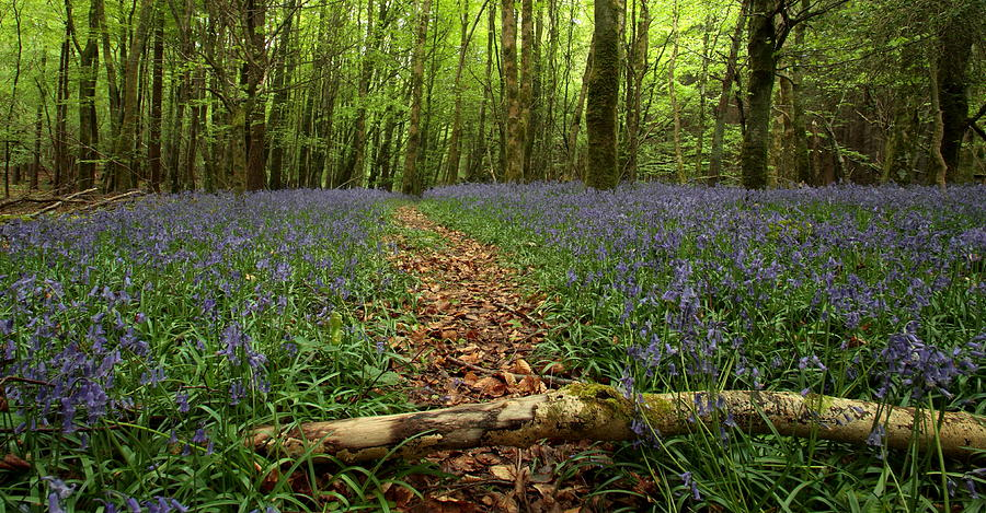 Bluebell Woods Photograph by Peter Skelton
