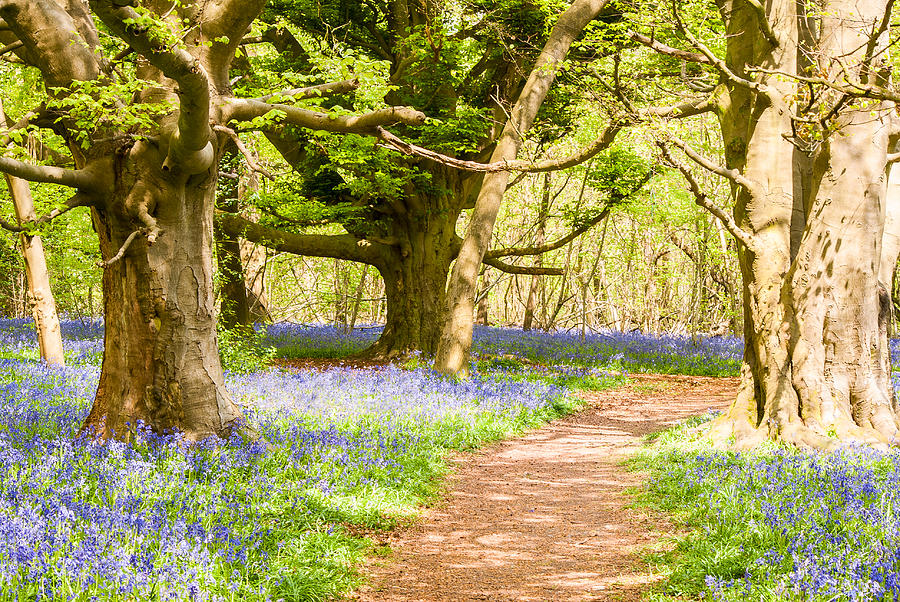 Photograph Photograph - Bluebell Woods by Trevor Wintle