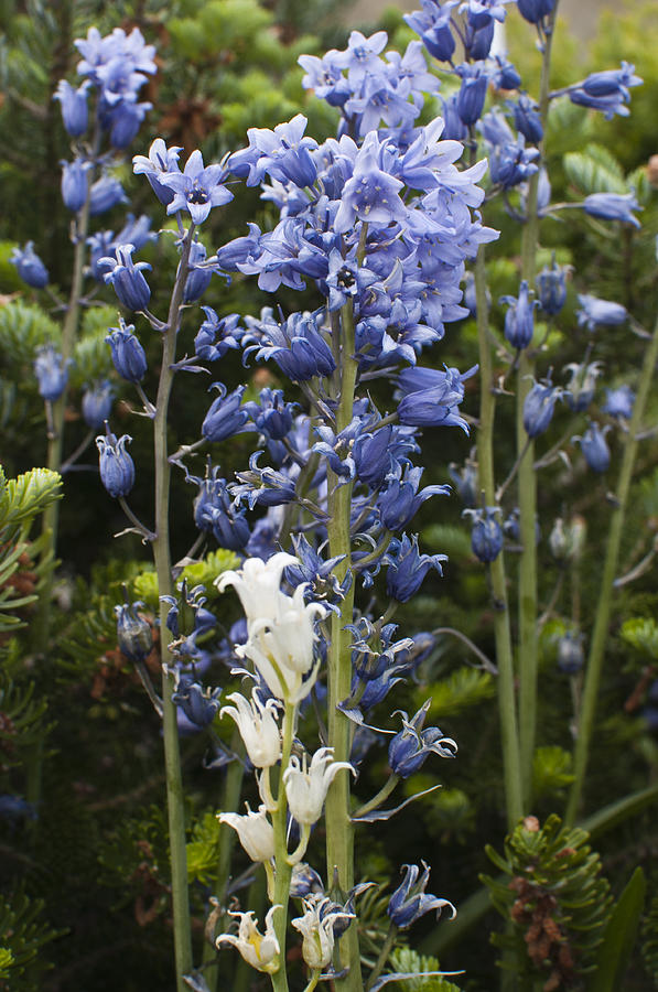 Bluebell Photograph - Bluebells 8 by Steve Purnell