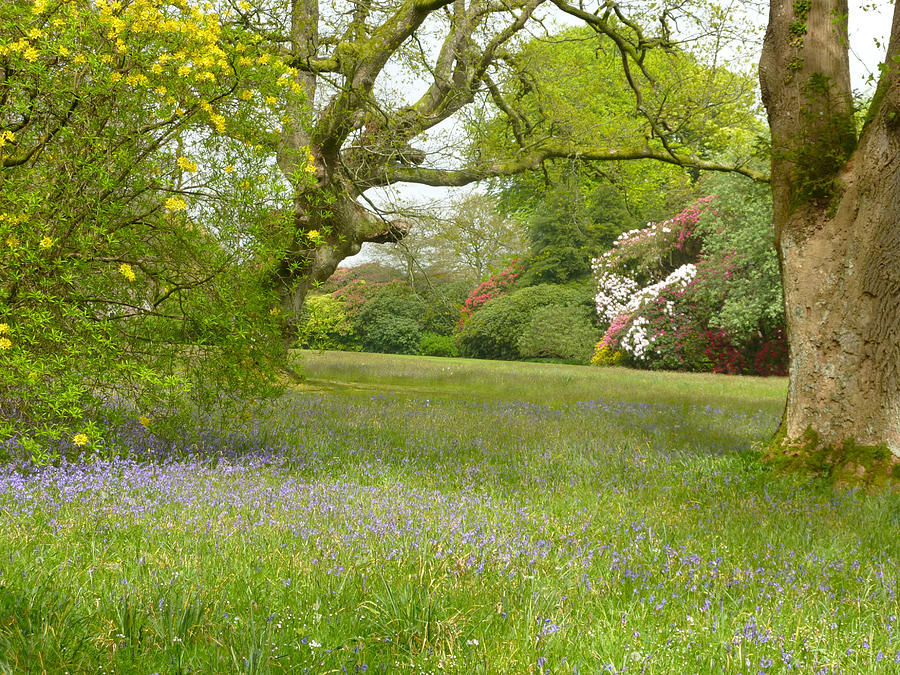 Blue Photograph - Bluebells And Rhododendrons by Rob Sherwood