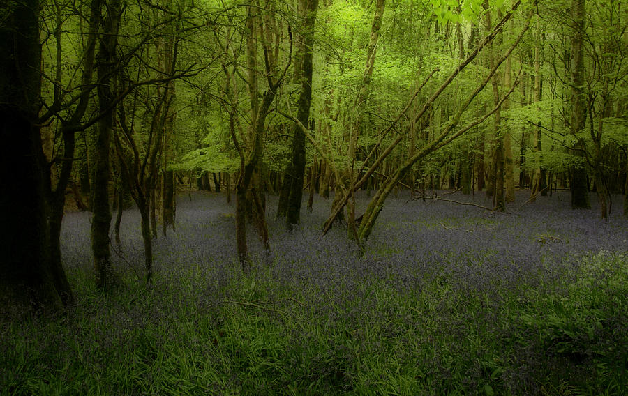 Bluebells Dream Photograph by Peter Skelton
