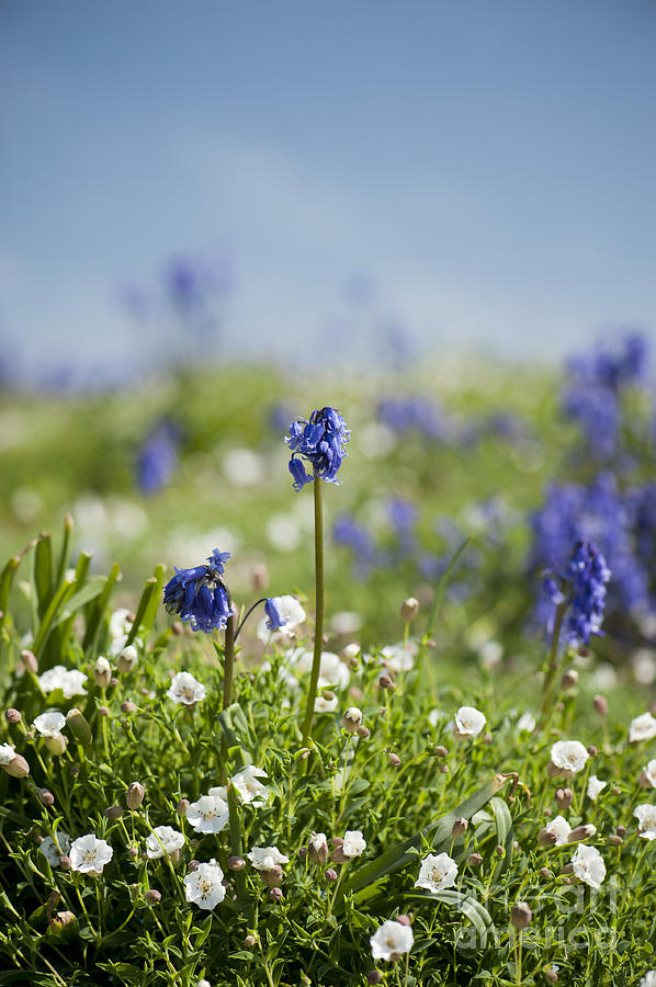 Background Photograph - Bluebells In Sea Campion by Anne Gilbert