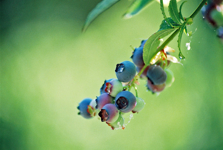 Blueberries Photograph - Blueberries by Frank Larkin