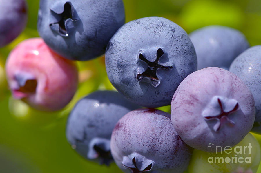 Blueberry Photograph - Blueberries by Sharon Talson