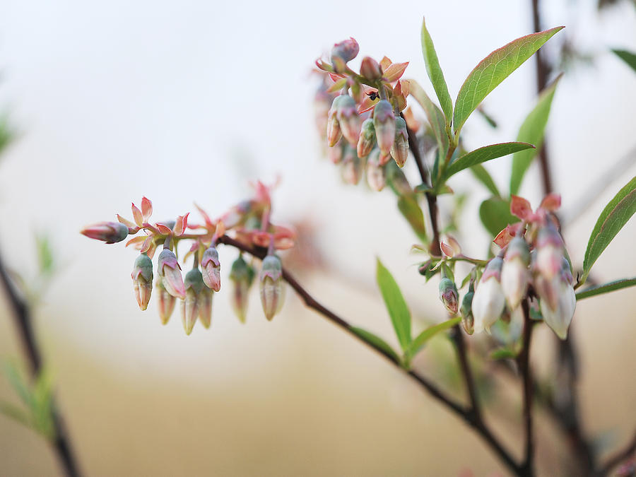 Blueberry Photograph - Blueberry Bush by Giffin Photography