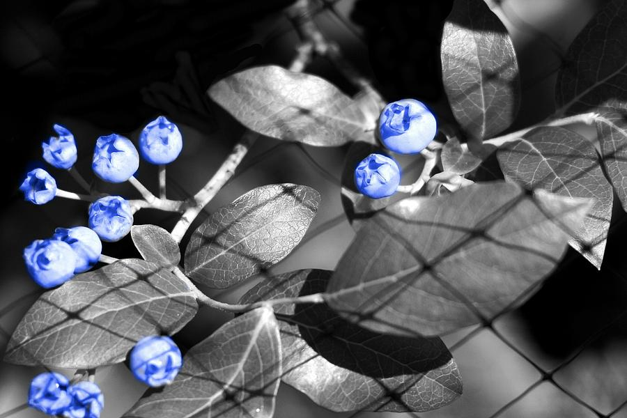 Blueberries Photograph - Blueberry Magic by Barbara S Nickerson