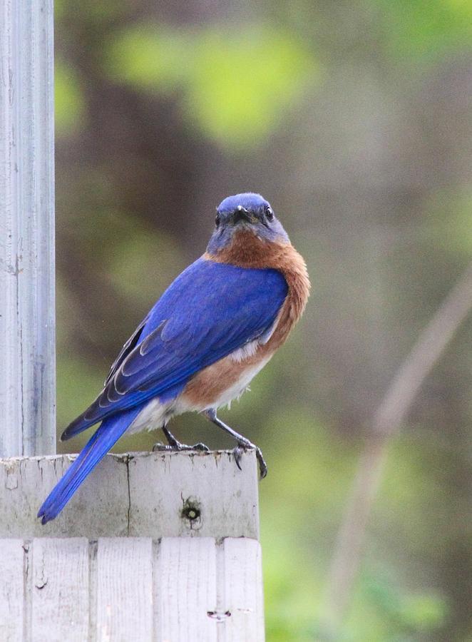 Bluebird Photograph - Bluebird  by Brad Fuller