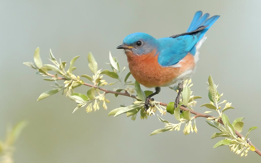 Bluebird Photograph - Bluebird Floral by William Jobes