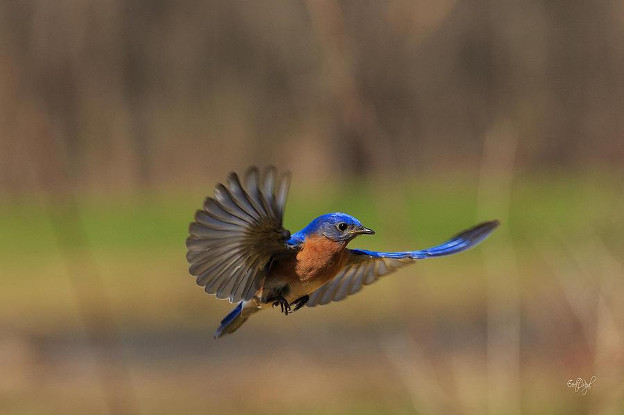 Bluebird In Flight Photograph