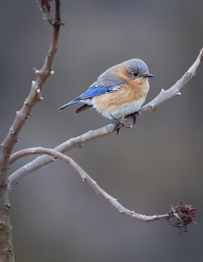 Eastern Bluebird Photograph - Bluebird by Melinda Fawver