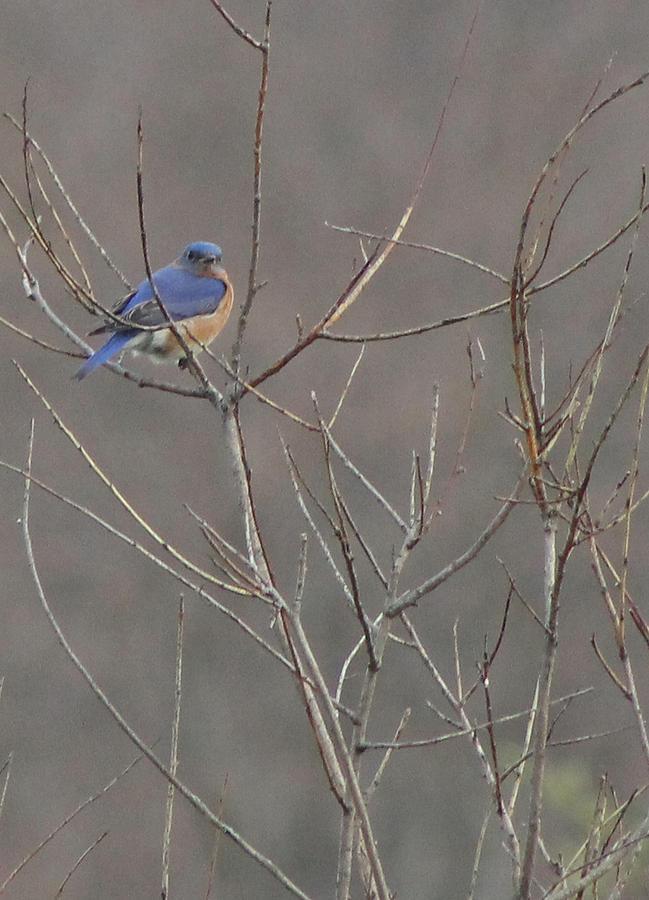 Bluebird Photograph - Bluebird On A Branch by Sarah Boyd
