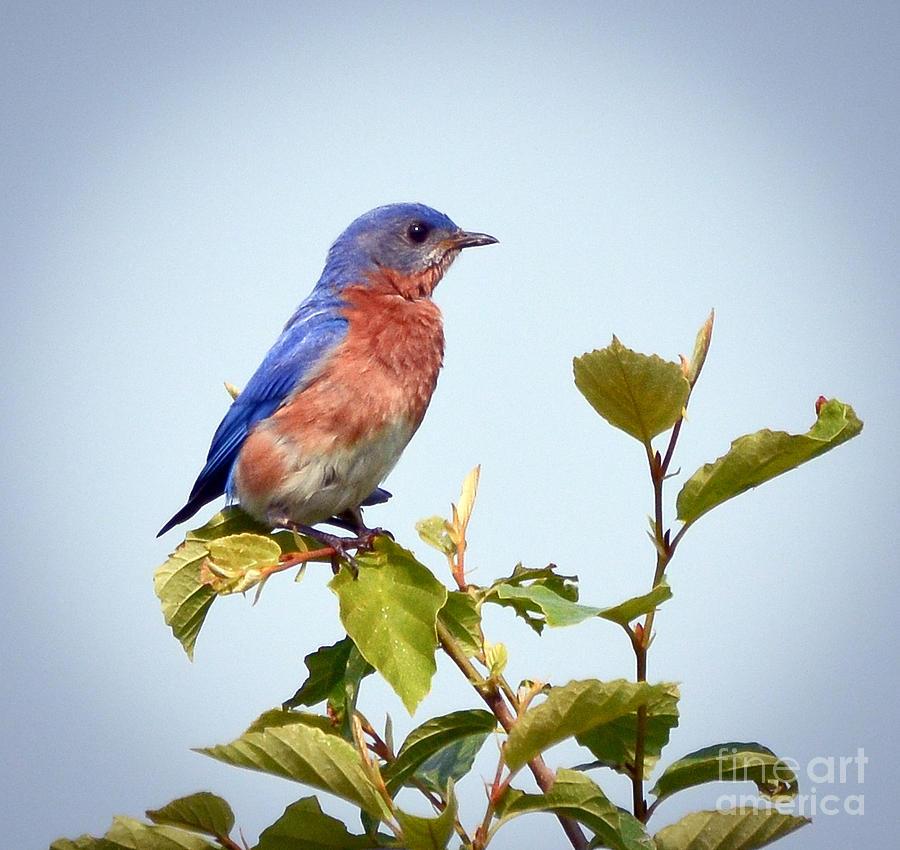 Bluebird Photograph - Bluebird On Top by Kerri Farley