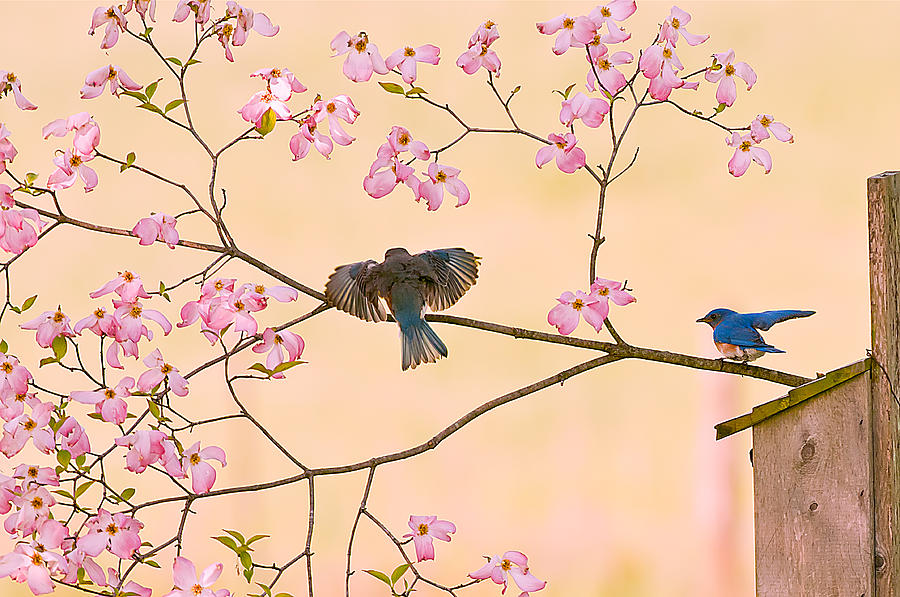Bluebirds In Pastel Pinks Photograph