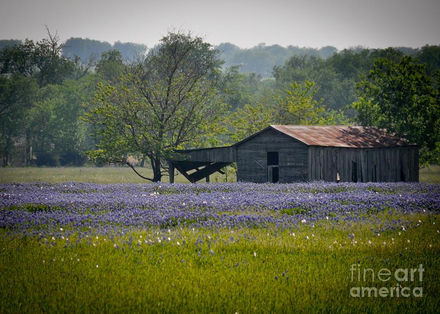 Bluebonnets Photograph - Bluebonnet Field and Barn by Cheryl McClure