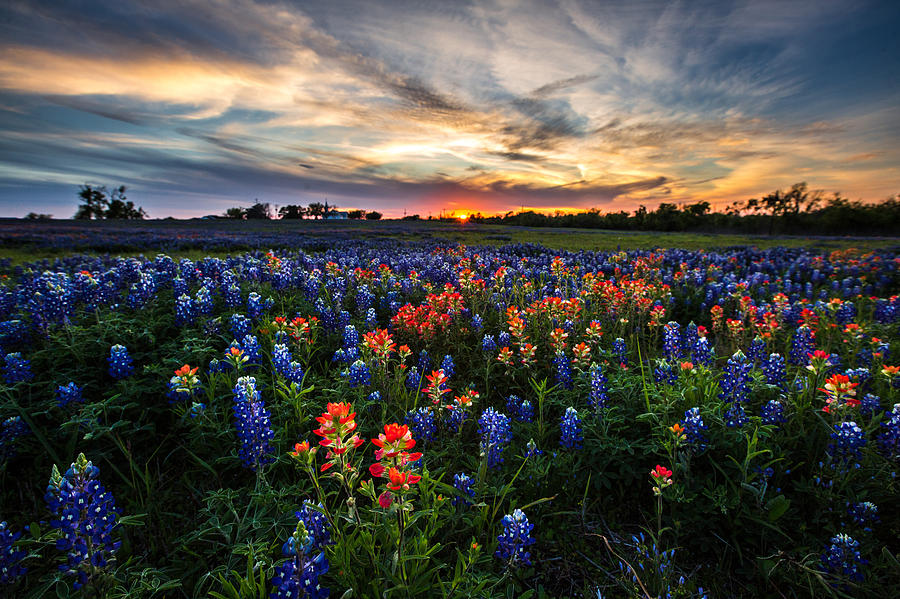 Bluebonnet Glory by Chris Multop
