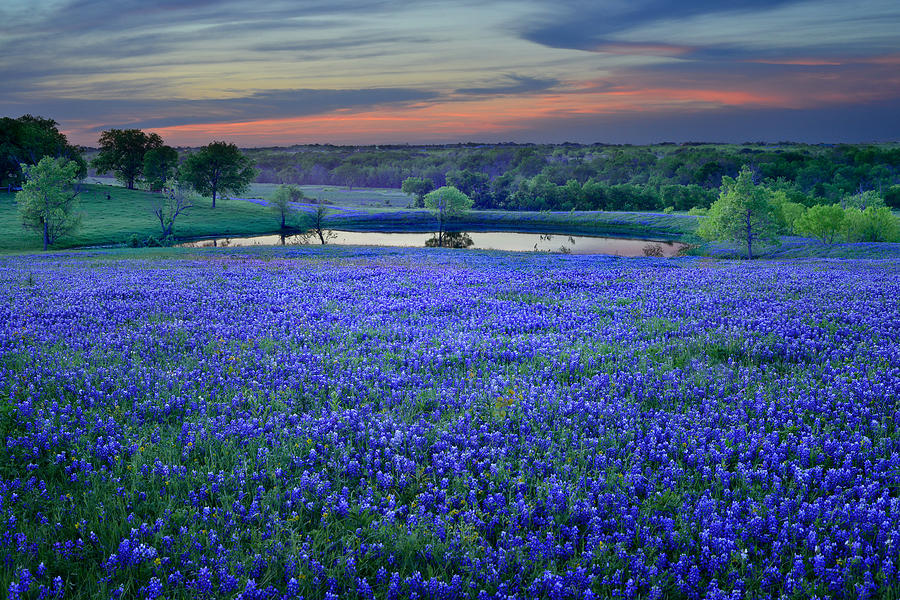 Texas Bluebonnets Photograph - Bluebonnet Lake Vista Texas Sunset - Wildflowers landscape flowers pond by Jon Holiday