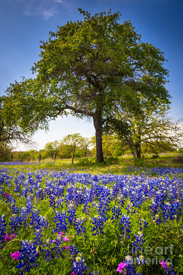 America Photograph - Bluebonnet Meadow by Inge Johnsson