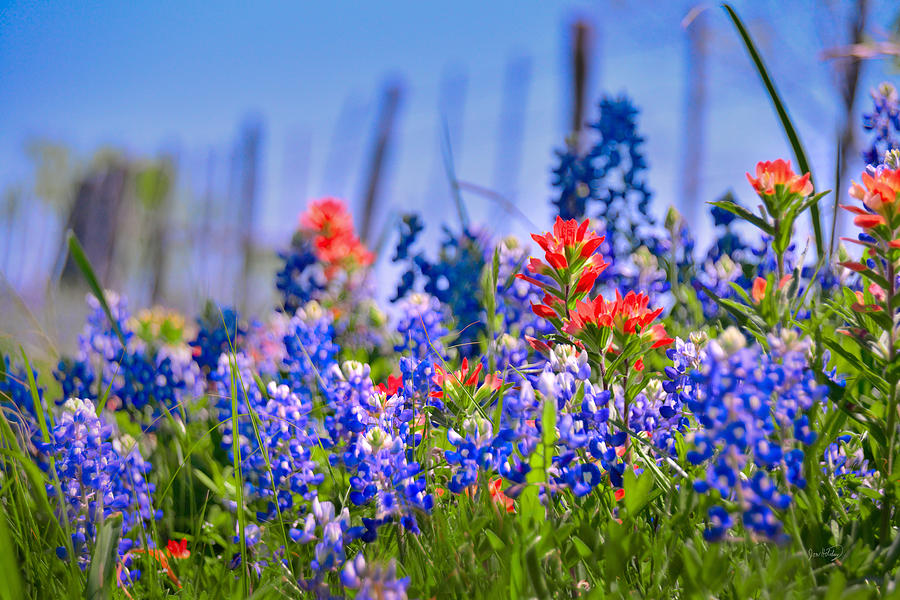 Texas Bluebonnets Photograph - Bluebonnet Paintbrush Texas  - Wildflowers landscape flowers fence  by Jon Holiday