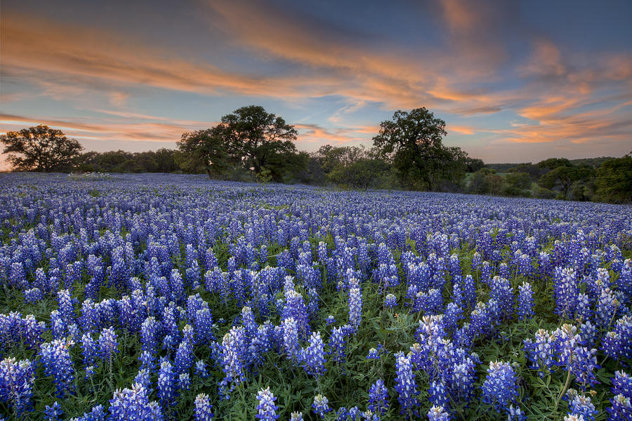 Bluebonnet Sunset One In The Texas Hill Country 1