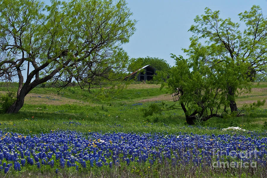Bluebonnets Photograph - Bluebonnets And Old Barn by Lisa Holmgreen