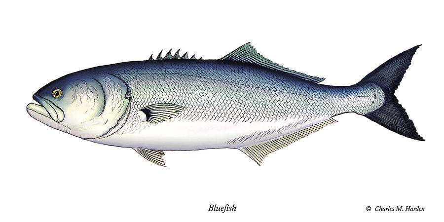 Charles Painting - Bluefish by Charles Harden