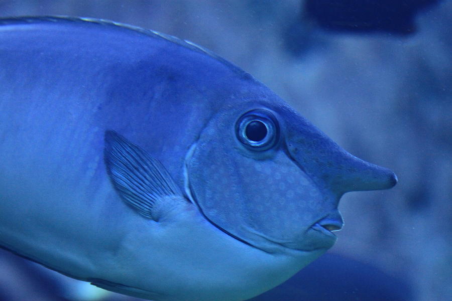 Coral Reef Photograph - Bluespine Unicorn Fish by Karon Melillo DeVega