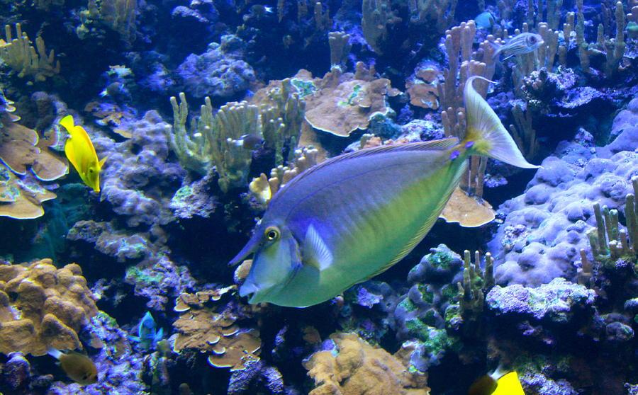 Coral Reef Photograph - Bluespine Unicornfish by Karon Melillo DeVega