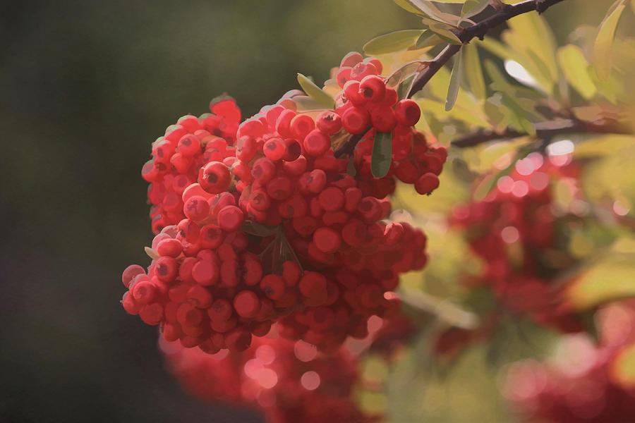 Digital Photographs Photograph - Blushing Berries by Kandy Hurley