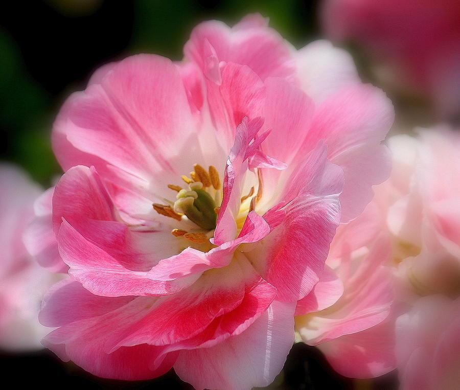 Pink Photograph - Blushing Spring Tulip by Rosanne Jordan