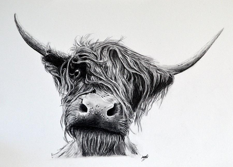 Highland Cattle Drawings Fine Art America