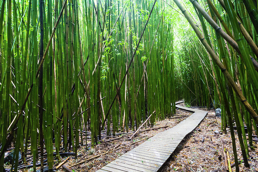 Boardwalk Passing Through Bamboo Trees Photograph By Panoramic Images