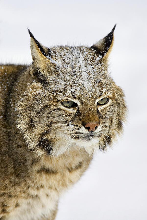 Bobcat Photograph - Bob by Jack Milchanowski