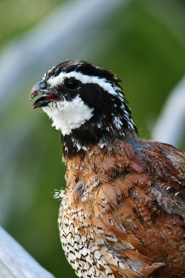 Quail Photograph - Bob White Quail by Karen Jones