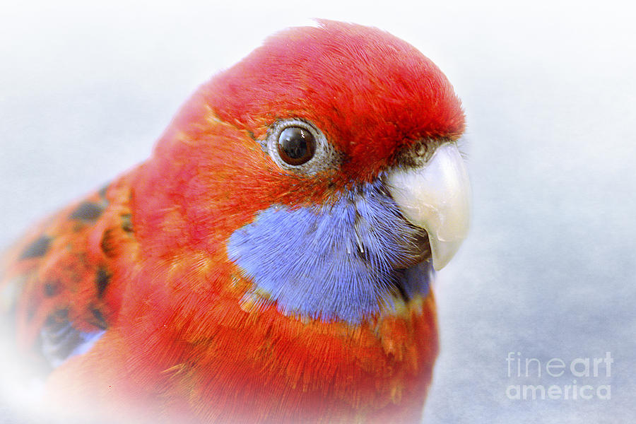 Bird Photograph - Bobby The Crimson Rosella by Terri Waters