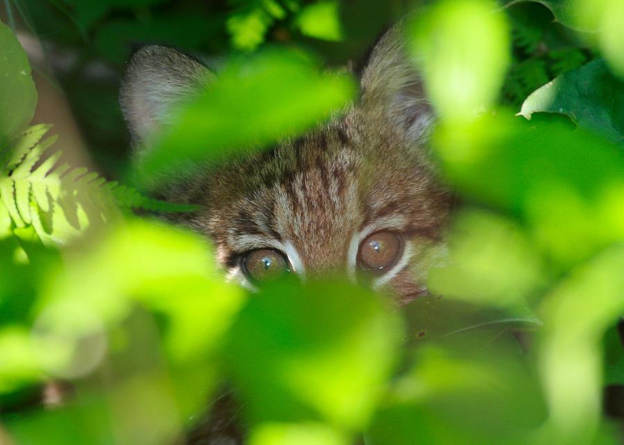 Bobcat Photograph - Bobcat by Brian Magnier