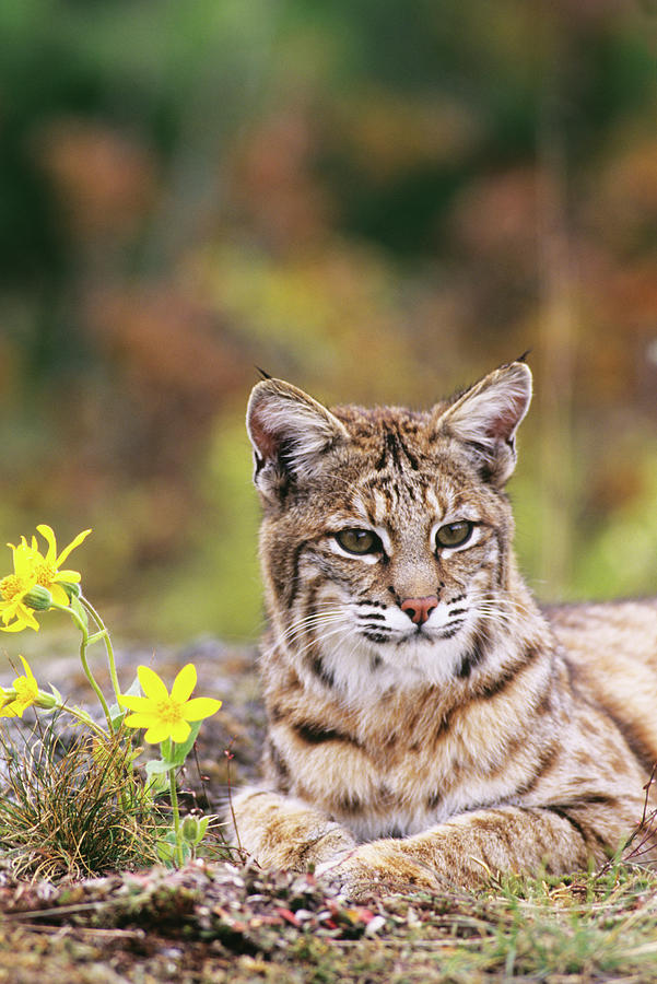Vertical Photograph - Bobcat By Flowers by Animal Images