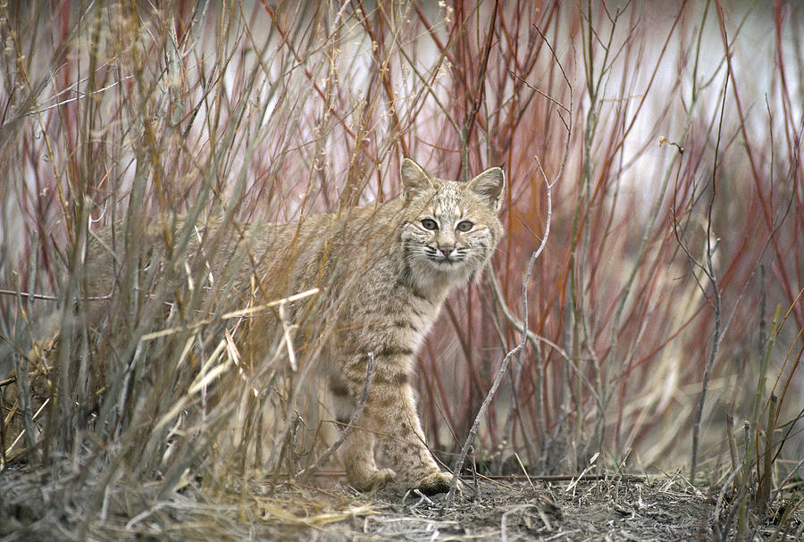 Bobcat Juvenile Emerging From Dry Grass Photograph by Michael Quinton