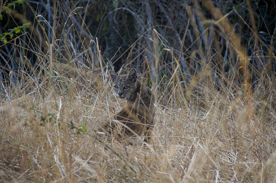 Bobcat Photograph - Bobcat Kitten In The Underbrush by Scott Lenhart