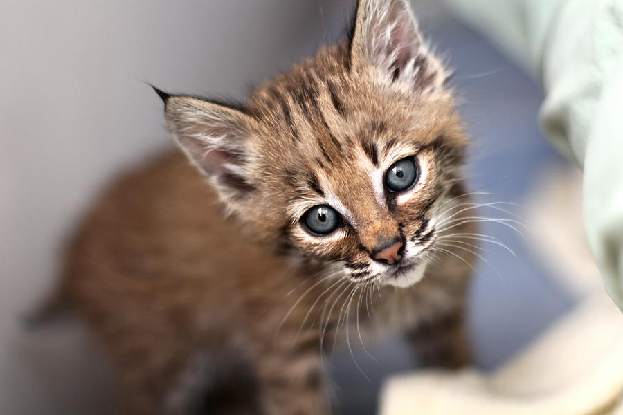Bobcat Kitty Photograph