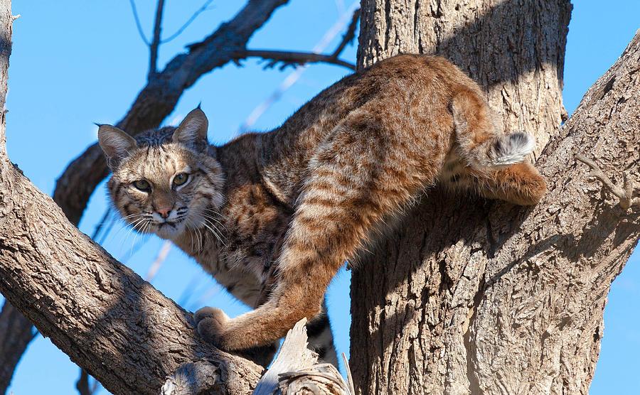 Bobcat Photograph - Bobcat by Mark Short