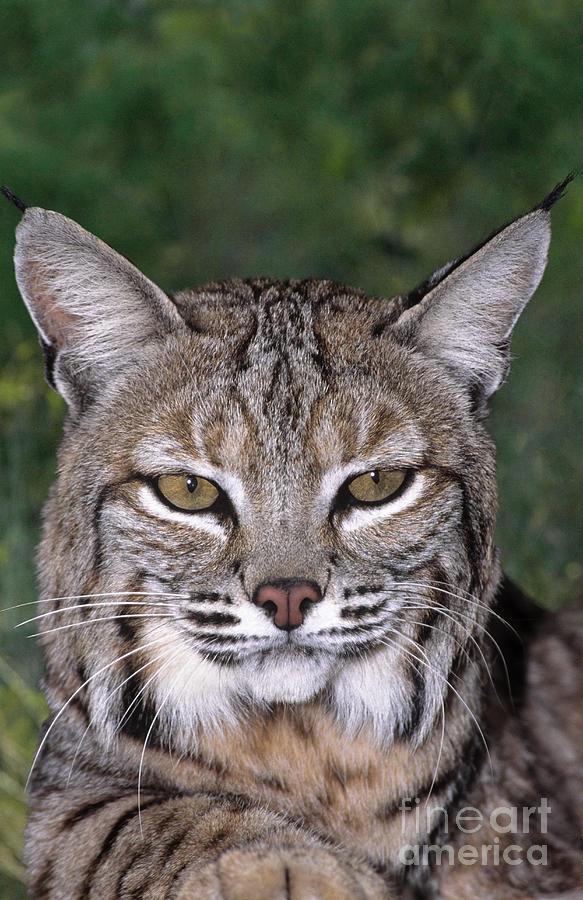 Bobcat Photograph - Bobcat Portrait Wildlife Rescue by Dave Welling