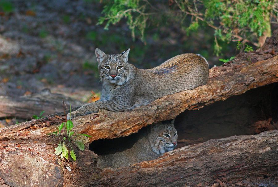 Bobcat Photograph - Bobcats At Rest by Jean Clark