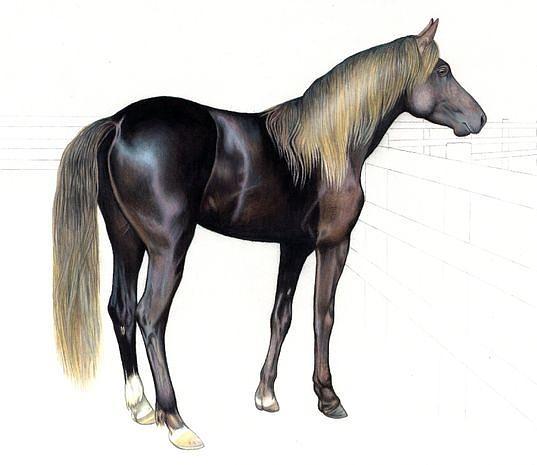 Horse Drawing - Bojo by Kassia Ott