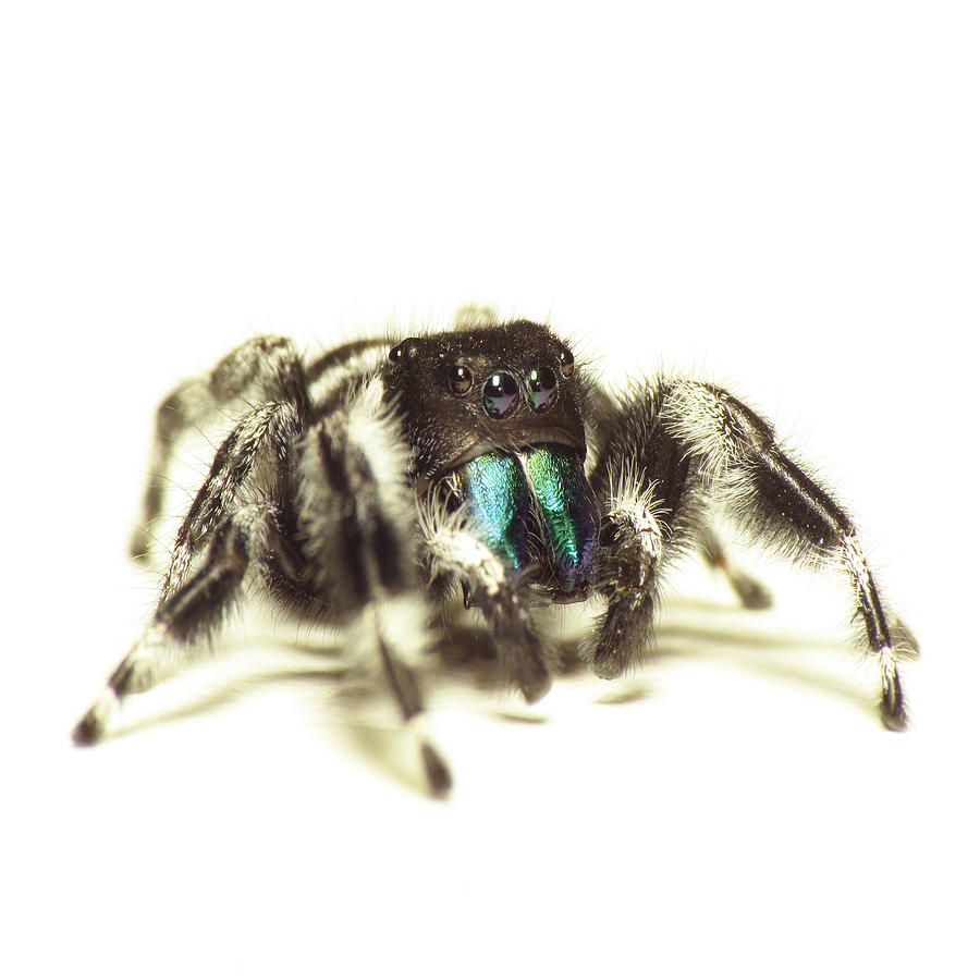 Bold Photograph - Bold Jumping Spider by Walter Klockers
