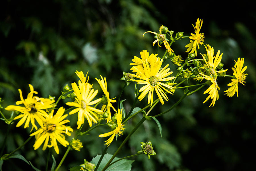 Yellow Photograph - Bold Yellow Flowers by Jason Brow