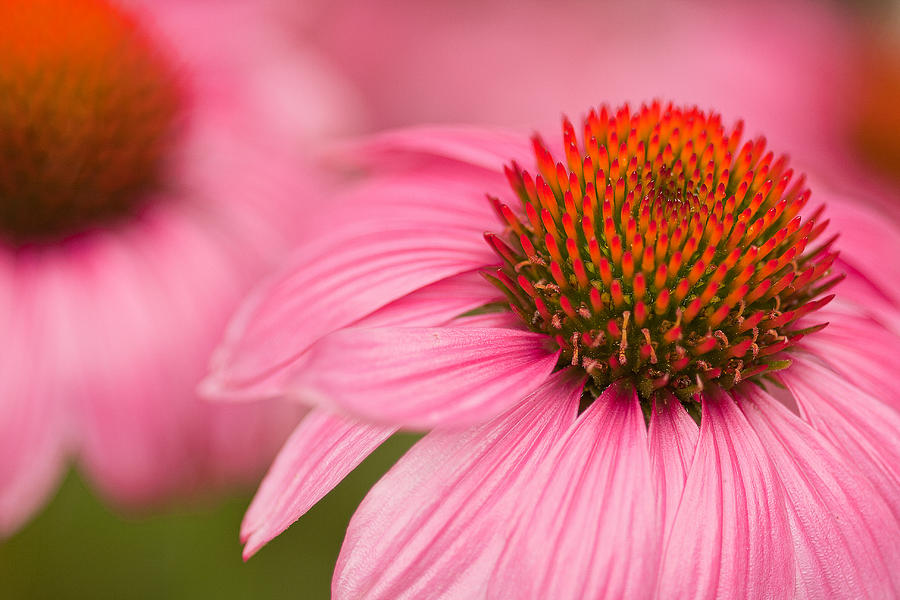 Coneflowers Photograph - Boldly Summer by Lindley Johnson